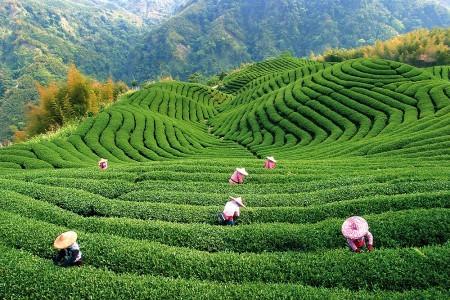 Чайные плантации -сбор чая