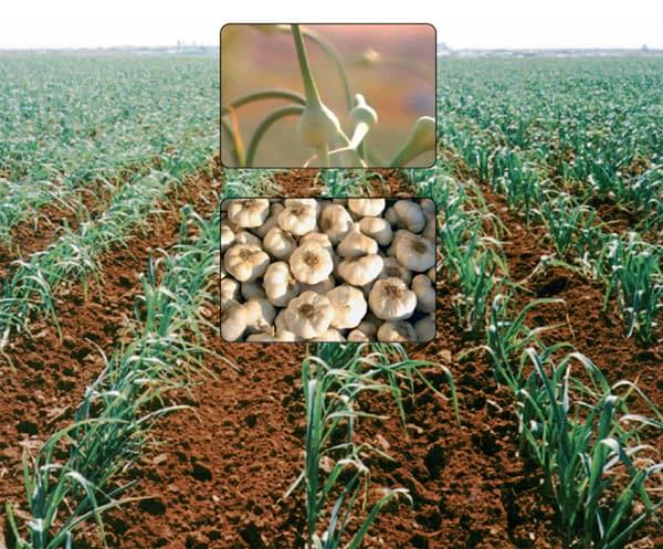 Изображение - Выращивание чеснока как бизнес в украине vyraschivanie_chesnoka_1_28074408