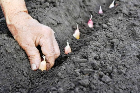 Изображение - Выращивание чеснока как бизнес в украине vyraschivanie_chesnoka_2_28074408