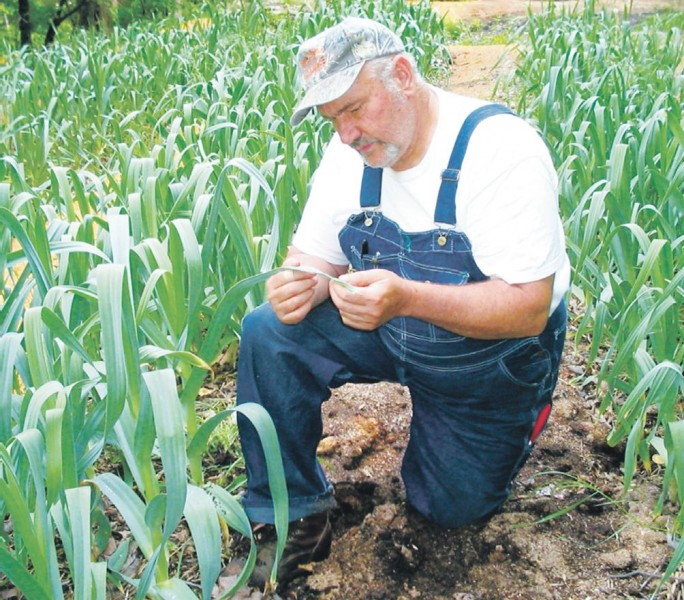 Изображение - Выращивание чеснока как бизнес в украине vyraschivanie_chesnoka_3_28074409-684x600