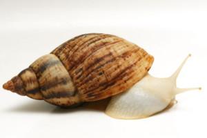 Изображение - Разведение улиток как бизнес lissachatina-reticulata-albino-body_03big-300x200